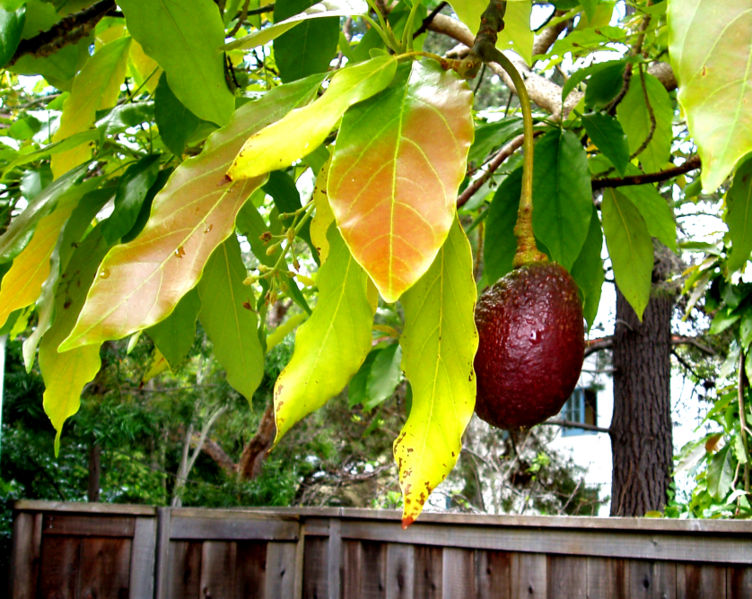 752px-The-avocado-tree-next-door-2357