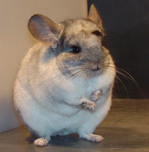 chinchilla_picture