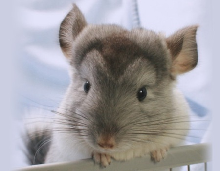 KansasCityChinchillas_4